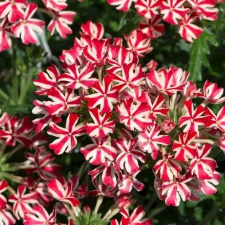 Verbena Enchantment Red Star